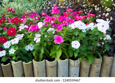 West Indian periwinkle, Madagascar periwinkle,Bringht eye, Indian periwinkle and blur background,Catharanthus roseus (L.) G.Don,West Indian periwinkle in the field, Madagascar periwinkle in the garden