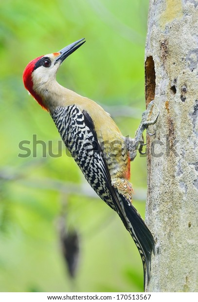 West Indian Woodpecker (Melanerpes superciliaris)  on the green natural background.  Cuba