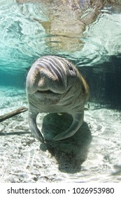 West Indian/Florida Manatee (Trichechus manatus latirostris), Florida