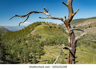 West Kelowna, British Columbia, Canada.  Old bare tree on hill near Rose Valley Lake in summer.