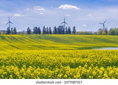 West Pomerania region landscape with yellow rapeseed fields, Poland