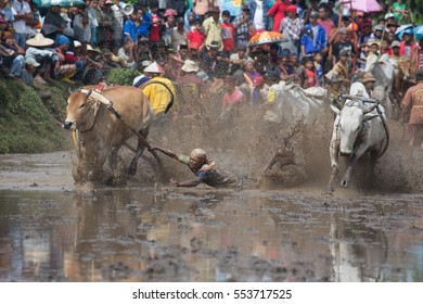 West Sumatera, Indonesia 6 June 2015 - Pacu Jawi or Bull Race Festival was held and this was one of the biggest.