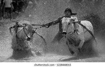 WEST SUMATERA - NOVEMBER 10TH : An unidentified jockey spurs two bulls across the muddy paddy fields in the bull race of the 'Pacu Jawi' on November, 2018 in Batu Sangkar, West Sumatera, ID.