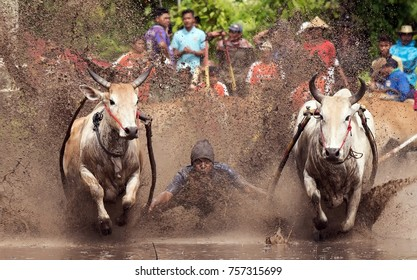 WEST SUMATERA - NOVEMBER 4TH : An unidentified jockey spurs two bulls across the muddy paddy fields in the bull race of the 'Pacu Jawi' on November 4th, 2017 in Batu Sangkar, West Sumatera, ID.