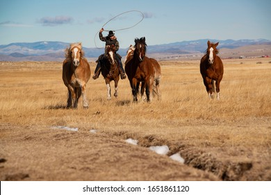 Westcliffe, CO, USA - 1/25/2020: Cowboy wrangler riding bay horse tries to lasso rope a galloping horse with a lariat in pasture