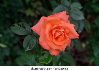 Westerland Rose (old rose Color) with green leaf