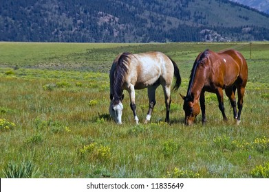 Western American Horses graze openly in rural Colorado where the west is still alive