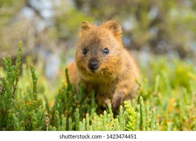 western australia rottnest island quokka