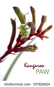 The Western Australian Red and Green Kangaroo Flower, the floral emblem of Australia, close up against a white background.