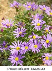 Western Australian wildflower,  Swan River Daisy or Brachyscome iberidifolia, with abundant display of purple daisy flowers