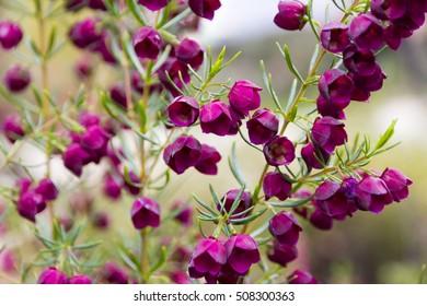 Western Australian Wildflowers - Kalgan Boronia - (Boronia Hetrophylla)