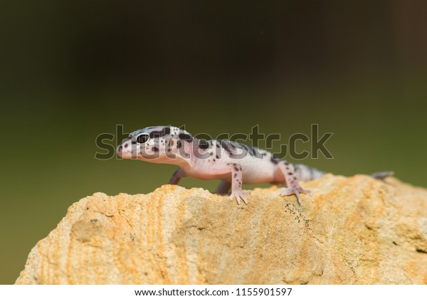 Western banded gecko (Coleonyx variegatus) is a species of gecko found in the southwestern United States (southern California, southwest New Mexico, southern Arizona, Utah, Nevada) and northern Mexico