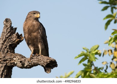 Western banded snake eagle (Circaetus cinerascens) perched on a dead tree limb