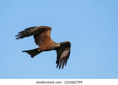 (Western) Black Kite - Schwarzmilan - Milvus migrans ssp. migrans, Germany, adult
