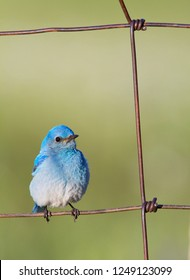 Western Bluebird perched on rusty wire fence out in the country