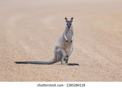 Western Brush Wallaby Macropus irma on road at Fitzgerald River National Park, Western Australia
