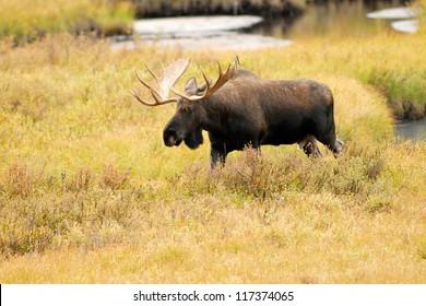 Western Bull Moose Portrait (Alces alces andersoni). Kananaskis, Alberta, Canada, North America