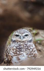 Western Burrowing Owl looking straight behind a tree