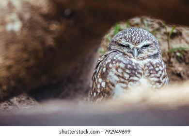 Western Burrowing Owl sleeping behind a tree