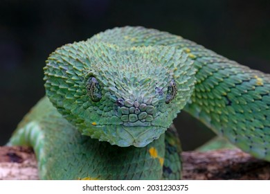 Western Bush Viper, West African Leaf Viper (Atheris chlorechis), is a genus of venomous vipers.