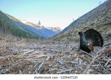 The western capercaillie, also known as the wood grouse, heather cock, is the largest member of the grouse family. Animal in natural environment. Forest destroyed by human activity.