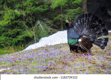 The western capercaillie (Tetrao urogallus), also known as the wood grouse, heather cock in wild nature in spruce forest. Spring season with saffron flowers. High Tatras national park, Slovakia.