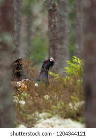 The Western Capercaillie, Tetrao urogallus, also known as the Wood Grouse, Heather Cock, or just Capercaillie in the forest, is showing off during their lekking season. They are in the typical habitat