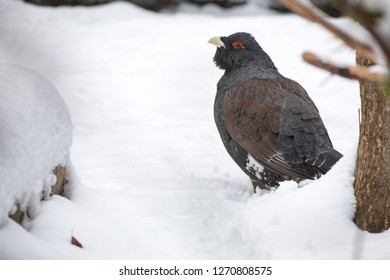"""Western capercaillie in the winterly national park """"Bayerischer Wald"""""""