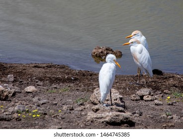 Western Cattle Egrets near a waterhole at the Etosha National park in northern Namibia during summer