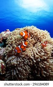 Western clown anemone-fish