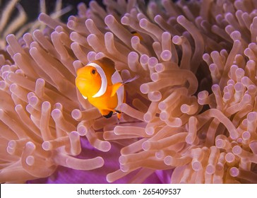 Western Clown Anemonefish hiding in an Anemone on tropical coral reef