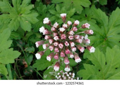 Western coltsfoot, Patrick's Point State Park, California, USA