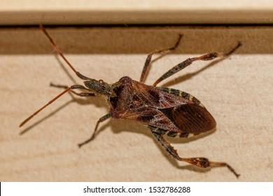 Western Conifer Seed Bug Coreoides Leatherbugs, Coreidae Leaf-footed Bugs, Coreinae Anisoscelini Leptoglossus occidentalis