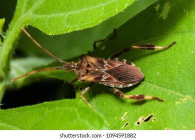 Western Conifer Seed Bug (Leptoglossus occidentalis) on a green leaf