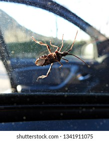 Western conifer seed bug (Leptoglossus occidentalis, WCSB), species of true bug (Hemiptera) in the family Coreidae climbing on a car window. Native to North America, invasive in Europe