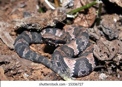 Western Cottonmouth (Agkistrodon piscivorus leucostoma)
