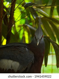 The western crowned pigeon, also known as the common crowned pigeon or blue crowned pigeon, is a large, blue-grey pigeon with blue lacy crests over the head and dark blue mask feathers around its eyes