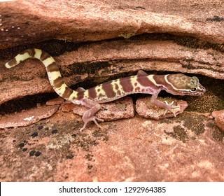 A western desert or Utah banded gecko lizard, Coleonyx variegatus (utahensis)