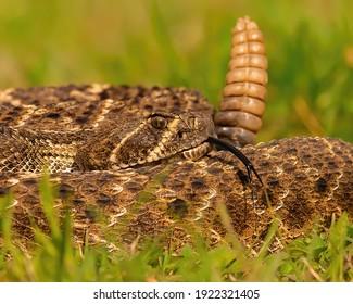 Western Diamondback Rattlesnake Coiled to Strike