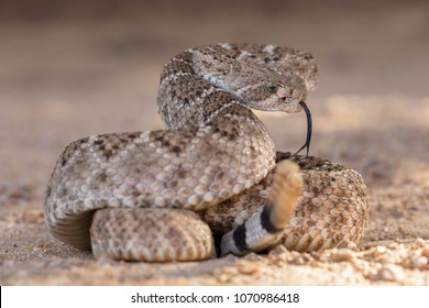 Rattlesnake Images, Stock Photos & Vectors | Shutterstock