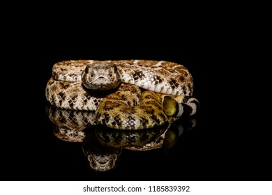 Texas Snake Stock Photos, Images & Photography | Shutterstock