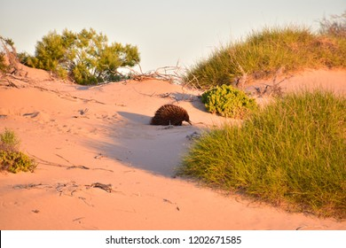Western echidna walking on the sand and looking for food in the Cape Range Nationalpark, Western Australia
