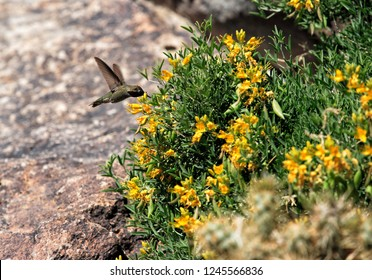 A western emerald humming bird feeding on nectar from a group of flowers in Death Valley National Park.