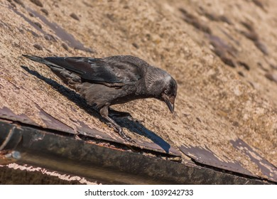 Western or European Jackdaw (Coloeus monedula) standing on a roof looking downwards