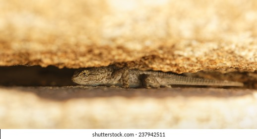 A Western Fence Lizard hiding between two boulders