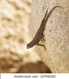Western Fence Lizard Looking out on a Rock