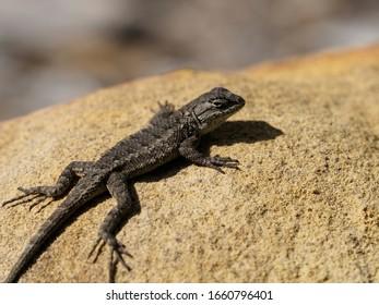Western fence lizard on rock