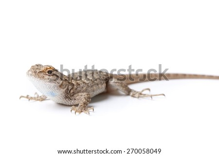 Western Fence Lizard on white background.