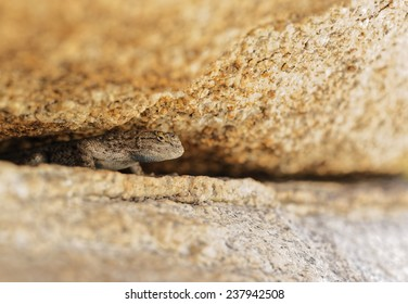 Western Fence Lizard Peaking out from underneath a Boulder