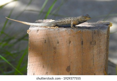 Western fence lizard perched upon a wooden post in the Los Padres National Forest, California